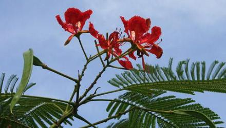 Royal-Poinciana-480